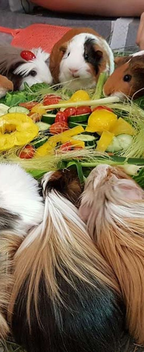 guinea-pigs-eating